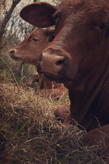 Wall Mural - Brown heifer noses laying in grass on the farm.  Rustic decor print appeal or cattle background.