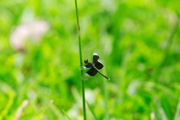 Neurothemis tullia tullia, dragonfly on the Green grass.