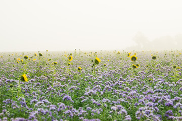 Sunflowers and Phacelia as green manure on a misty autumnal field