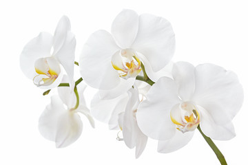 Tuinposter Orchidee The branch of orchids on a white background