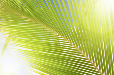 Palm leaf swaying with sunlight effect behind, light and soft focus. Summer time background.