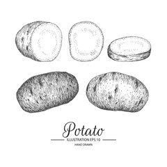 Set of potato. Hand drawn collection by ink and pen sketch. Isolated vector elements can use for fruit and vegetable products and health care goods packaging.