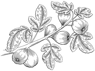 Fig graphic tree black white isolated sketch illustration vector