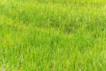 Rice fields green outdoor