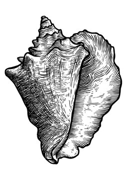Queen conch illustration, drawing, engraving, ink, realistic