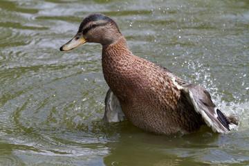 Mallard at Sherfield-On-Loddon Pond