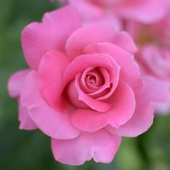 The rose flower .