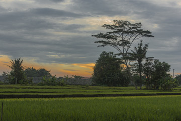 Tree and rice field on surise