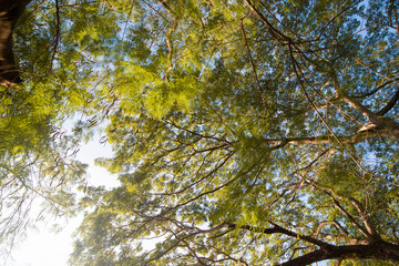 The canopy of tall trees with sun shining