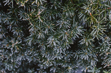 Vegetable texture. Yew covered with frost
