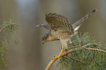 Sparrowhawk Accipiter nisus hunting for sparrows in dense vegetation  Wall mural