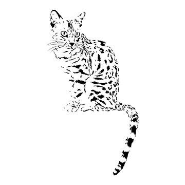 bengal cat, isolated animal vector illustration, tattoo