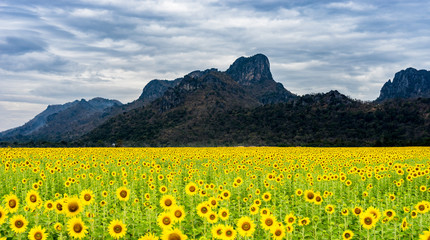 Sun flowers field with mountain