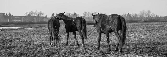 Pferde Monochrom 01