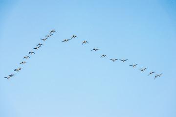 flock of wild geese