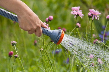 hand of gardener watering flowers in the garden