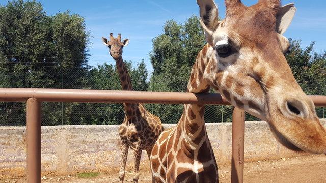 giraffe nello zoo