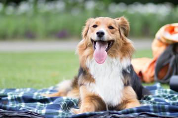 Australian Sehpherd Mix Hund auf einer Decke im Park
