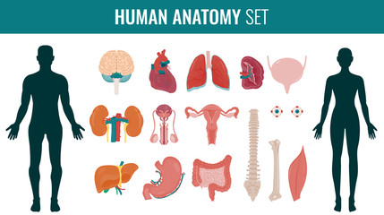Human internal organ anatomy set. Vector