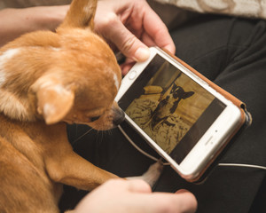 Chihuahua looking at photo on cell phone