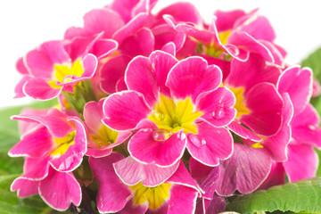 Close up di fiori di primule