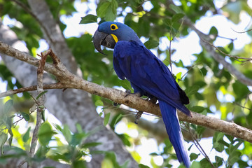 Hyacinth macaw sitting on a branch, Pantanal, Brazil