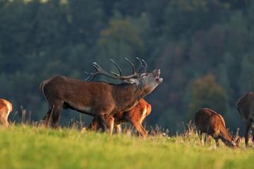 red deer, cervus elaphus, Czech republic