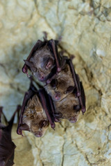 Pack of Cave Bats