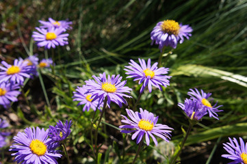 Aster alpinus or alpine aster many purple flowers in green