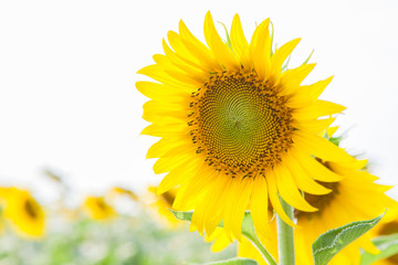 Blooming sunflower in a field on a sunny day.white background