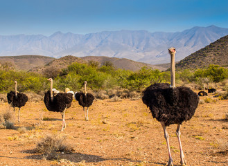 Ostriches on a farm near Outshoorn in South Africa