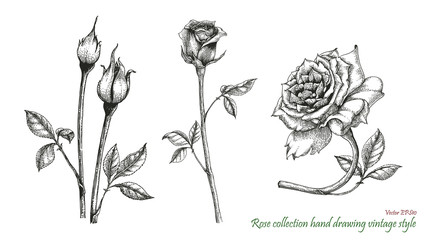 Rose hand drawing engraving style