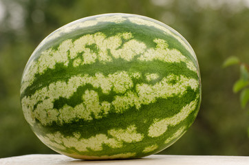 Large whole watermelon on the green background, place for text
