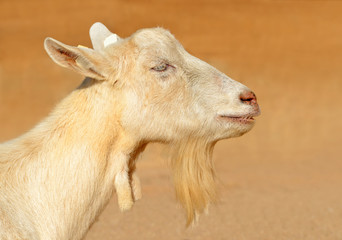 Portrait of a goat. Farm animal.