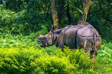 September 02, 2014 - Indian Rhino In Chitwan National Park, Nepal