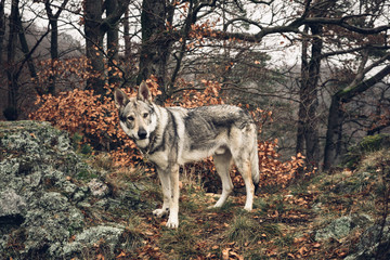 Sitka the Wolf