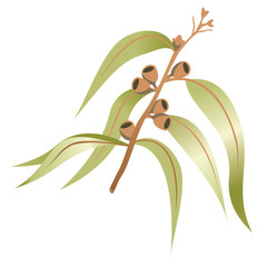 Illustration nature a branch or twig of eucalyptus, eucalyptus. Ideal for catalogs and educational materials