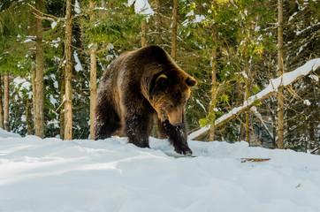 Portrait of Brown Bear in the bitter winter forest. Winter mountain landscape.