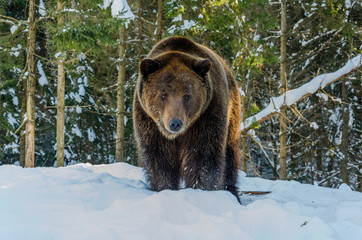 Portrait of Brown Bear in the bitter winter forest. Winter mountain landscape.
