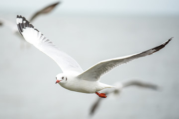 Seagull fly over the sea