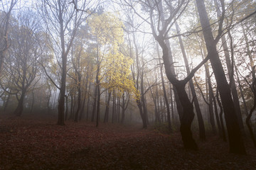 Lonely yellow tree in foggy forest