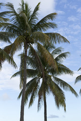 Coconut Trees with Sky