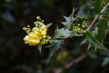 Holly in flower