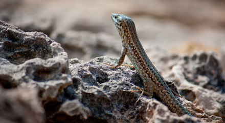Lizard at Ibiza, close-up view. Fauna of Ibiza. Popular animals of Ibiza.