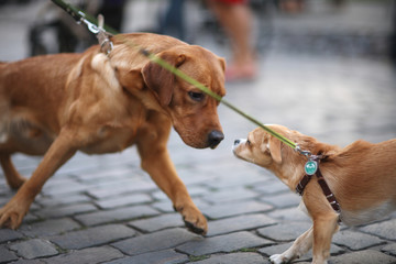 The meeting of two dogs with the leash on the street