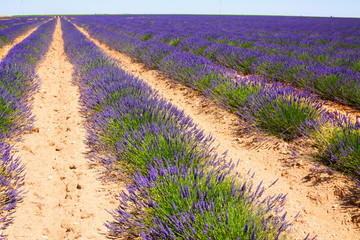 Landscape with  blue  lavender