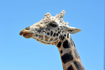 the head of a giraffe against the blue sky