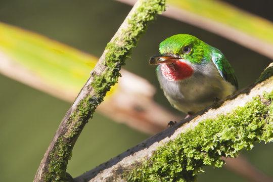 Puerto Rican tody (Todus mexicanus) sitting on branch, El Yunque Rain Forest, Puerto Rico