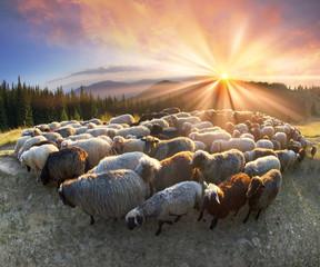Fond de hotte en verre imprimé Sheep Shepherds and sheep Carpathians