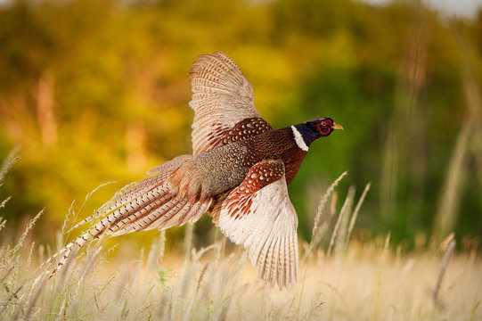 Pheasant Flying JCR2977_006